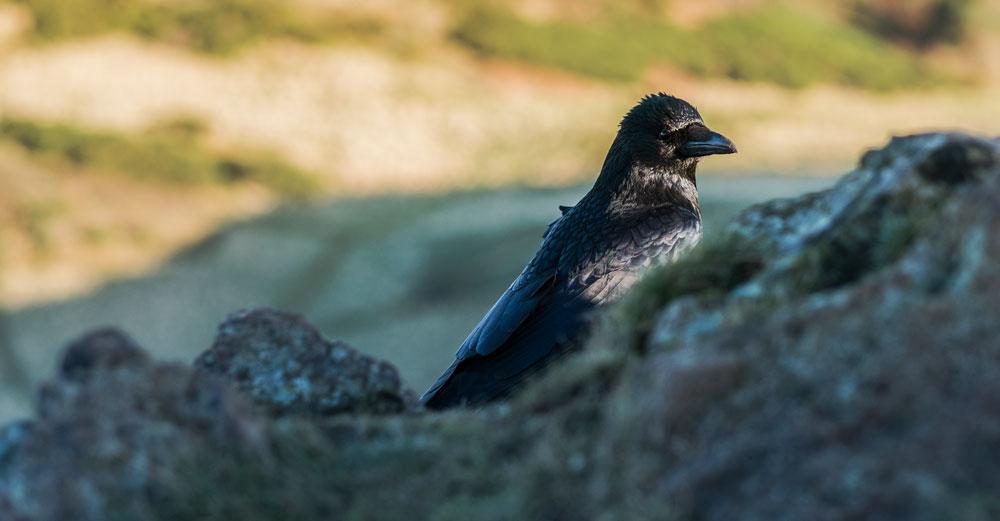 A crow on Arthur's Seat, Edinburgh ©samuel F.