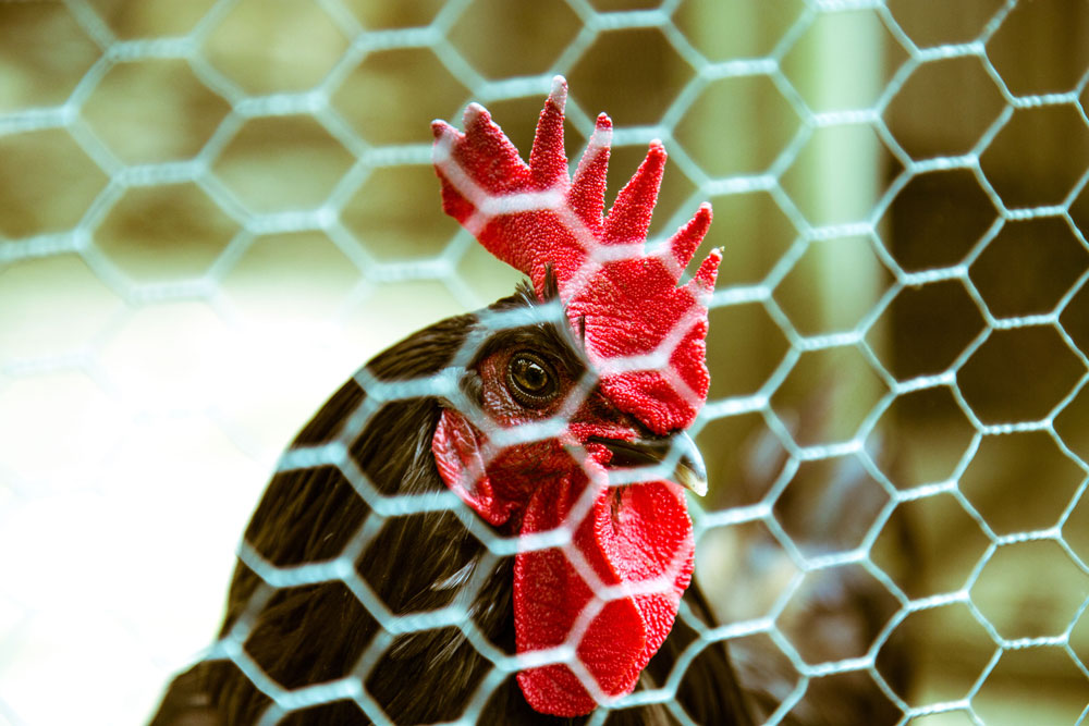 Britanny Black Cock chicken ©Samuel F.