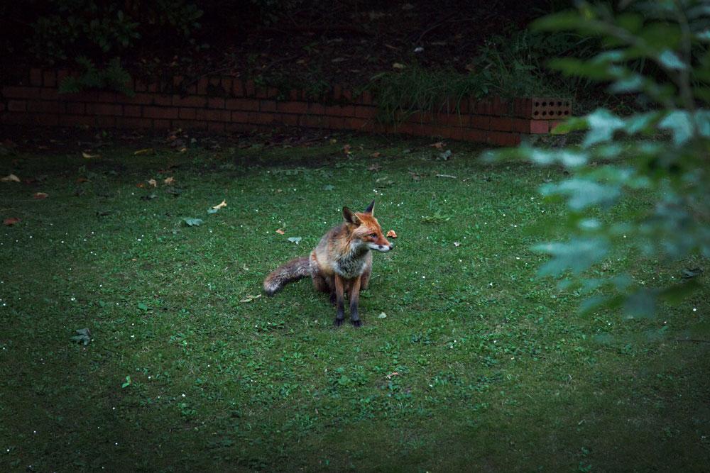 Albator, my half Blind fox, in Glasgow ©Samuel F.