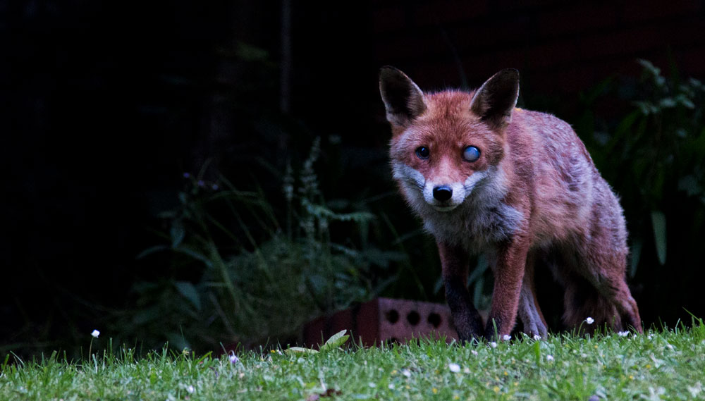 Albator, my half Blind fox, in Glasgow ©Samuel F.