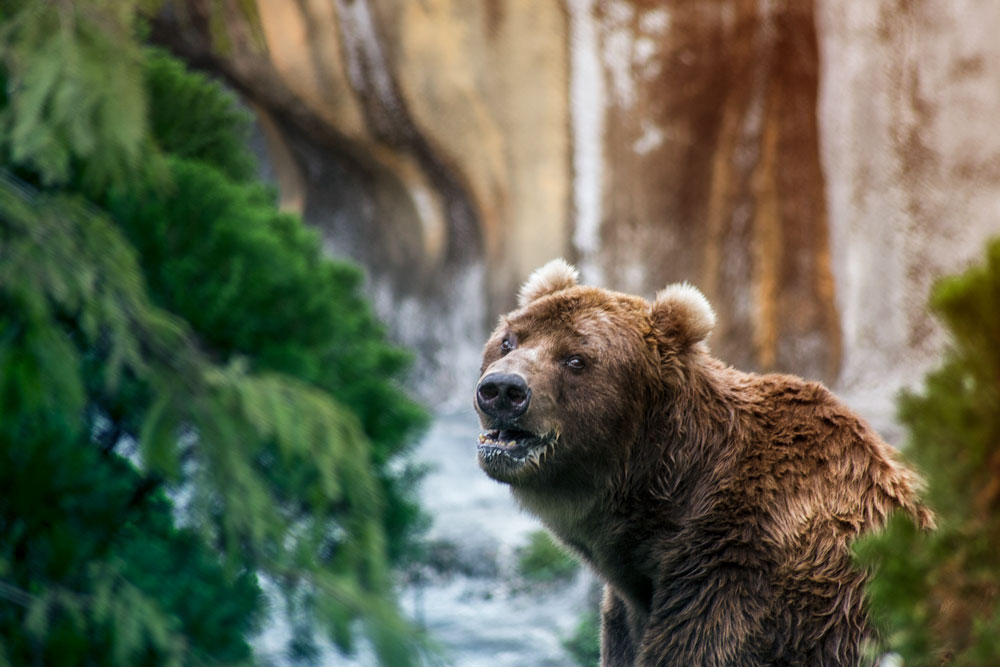 Brown Bear, shot in taiwan ©Samuel F.