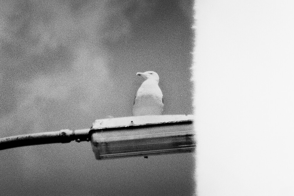 The burnt image of a seagull overlooking the streets surrounding the Botanical Gardens ©Samuel F.